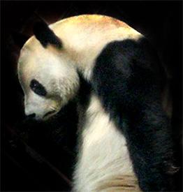 File:Sad panda 2.jpg