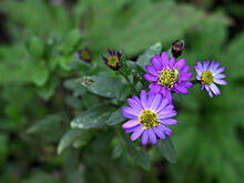 Aster+ageratoides-3204