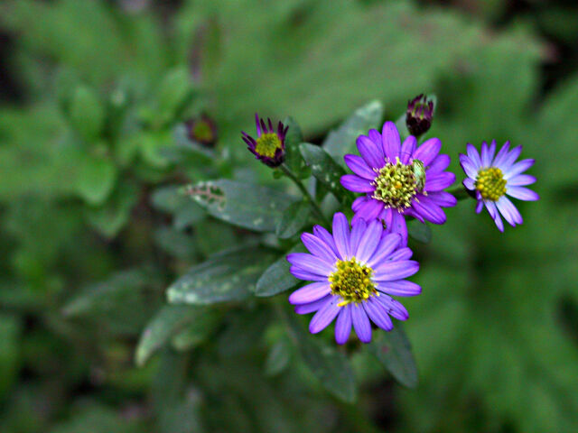 File:Aster+ageratoides-3204.jpg