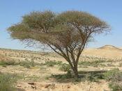 Acacia Negev