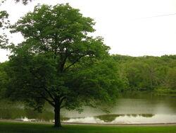 Oak Tree and lake-6376