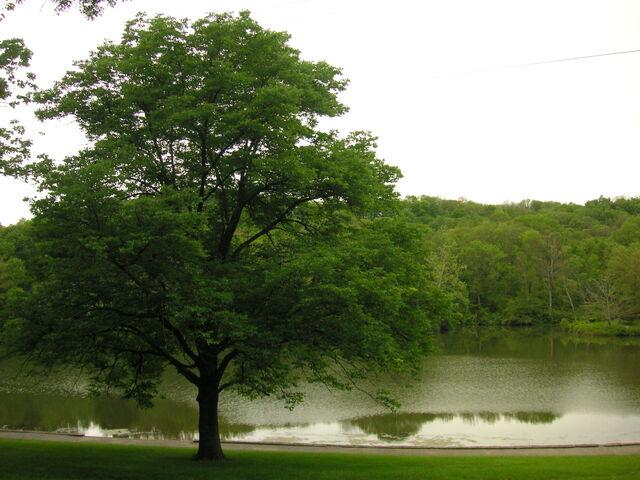 File:Oak Tree and lake-6376.jpg