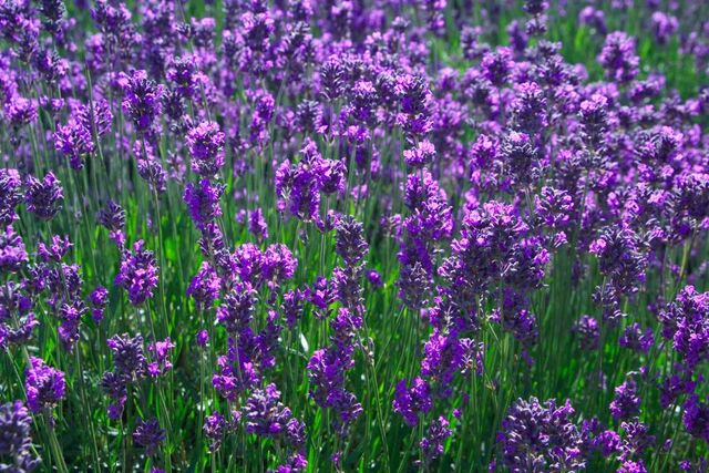File:Lavender field-6740.jpg