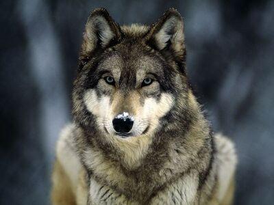 Grey-wolf 565 600x450