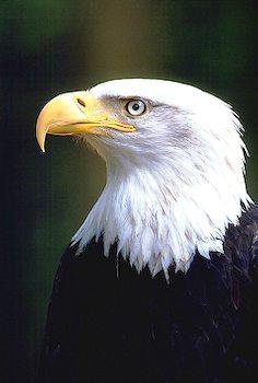 File:Eagles-face 894.jpg