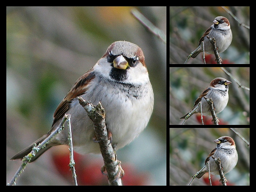 File:Photo Shoot- Male House Sparrow.jpg