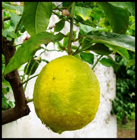 File:Lemon.jpg-3584.jpg