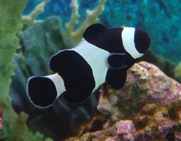 File:BlackClownfish.jpg