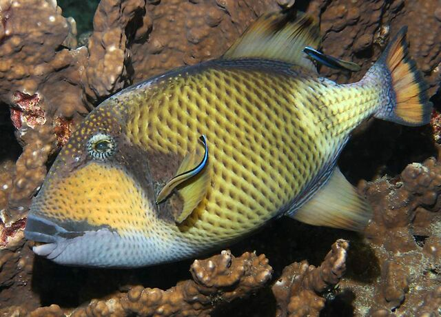 File:TitanTriggerfish.jpg