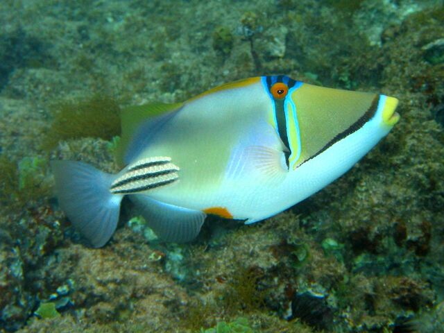 File:PicassoTriggerfish.jpg