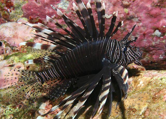 File:BlackLionfish.jpg