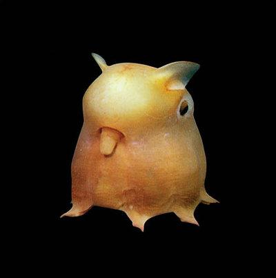 File:Dumbooctopus.jpg