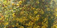 Honeybush