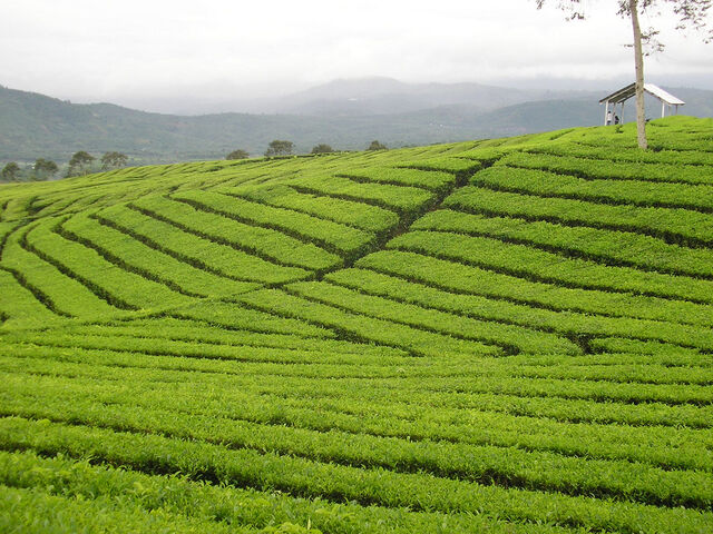 File:Mount-dempo-tea-plantation.jpg