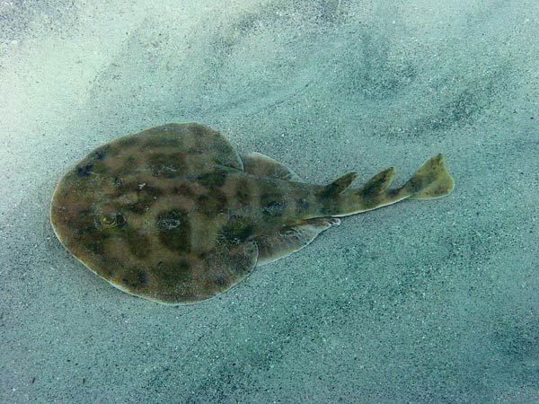 File:Lesser-Electric-Ray-04.jpeg