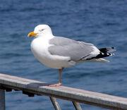 Herring gull-wikipedia