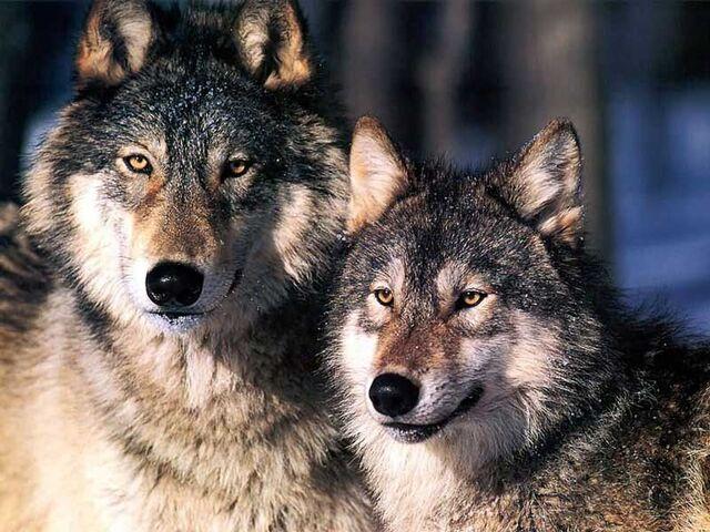 File:Two-wolves.jpg