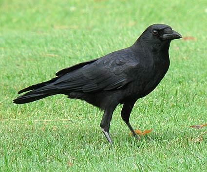 File:American crow 8-1.jpg