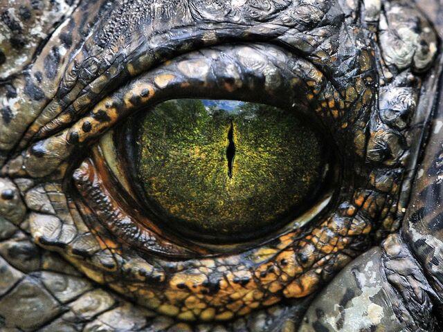 File:Crocodile eye.jpg