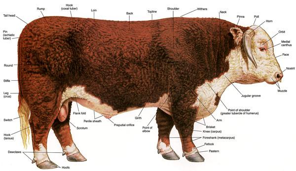 File:Hereford-bull.jpg
