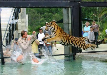 File:Tiger attack.jpg