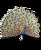 C019 Birds Paradise i02 Peacock