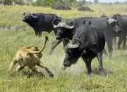 Buffalo-vs-Lion