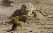 Croc-chasing-chick 1113592c