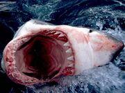 Great White Shark South Africa-e1359368997354