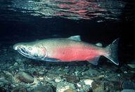 Coho-salmon1