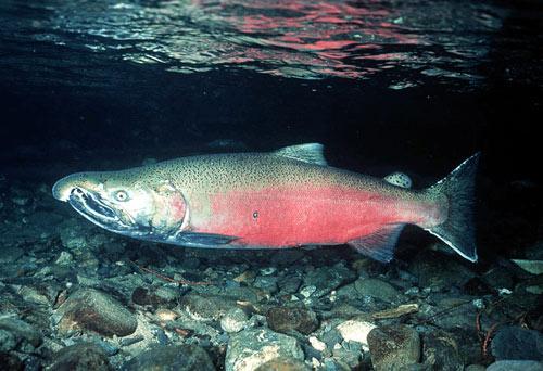 File:Coho-salmon1.jpg