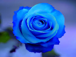 File:Blue Rose.png