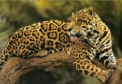 File:Jaguar3.png