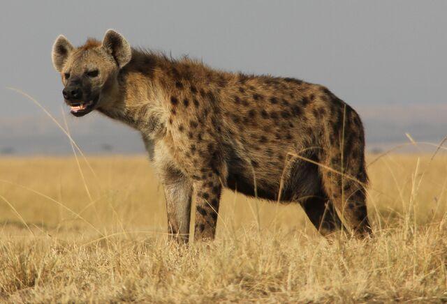 File:Spotted-hyena-kenya.jpg