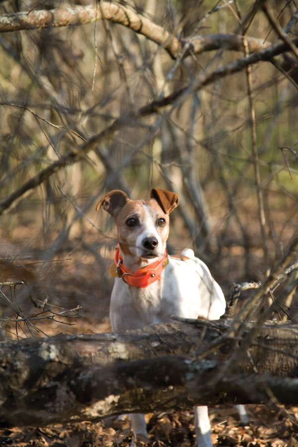 Great Pyrenees Catahoula Leopard Dog Dogs Pictures Photos ...