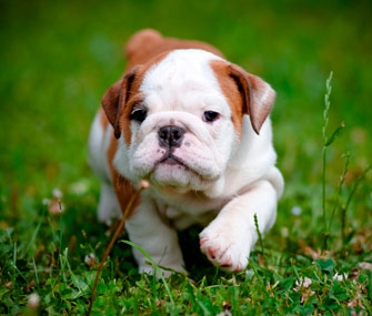 File:Socialized-puppy-thinkstock-158913287-335sm12313.jpg