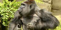 Harambe (the gorilla's dead cousin)