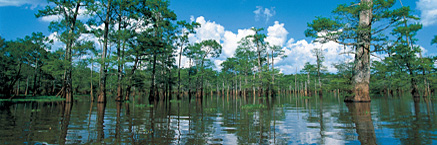Bengal swamp