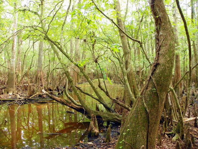 File:Florida-swamp-land-i-sheri-mcleroy.jpg