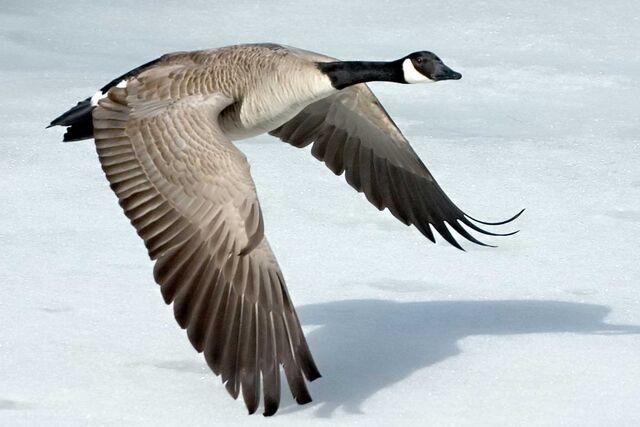 File:Canada-Goose-Szmurlo.jpg