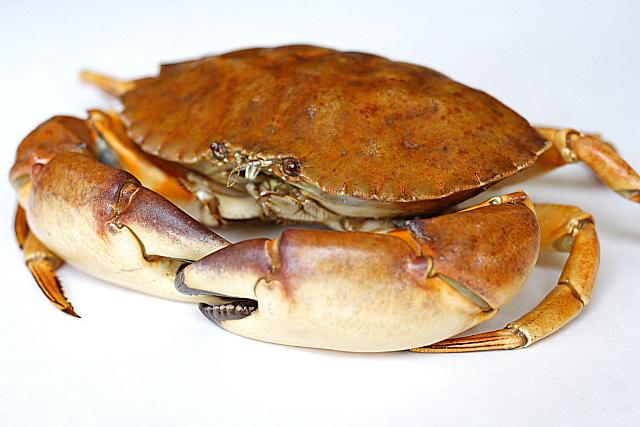 File:Stone crab1.jpeg