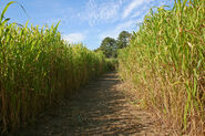 Corn Maze Silver 9