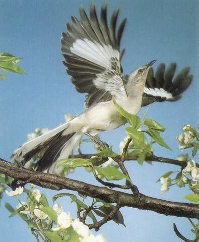 File:Wing-fast-takeoff-Mockingbird.jpg
