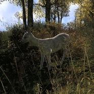 Species ROE D albino