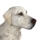 Labrador retriever white female
