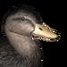 American black duck male common