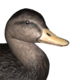 American black duck male common