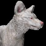 Red fox male albino