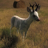 Species ROE B albino