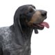 Bluetick coonhound dark female